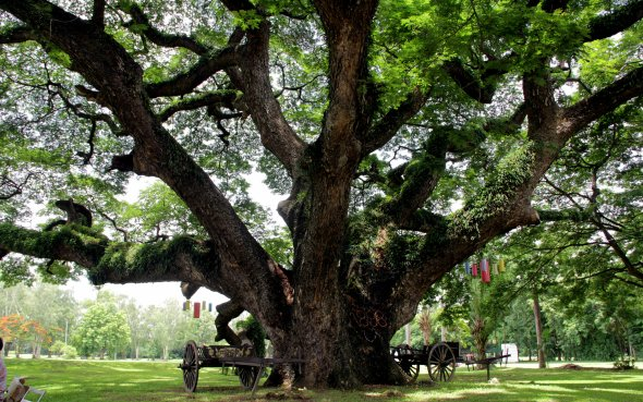 The rain tree at the Gymkhana Club in Chiang Mai