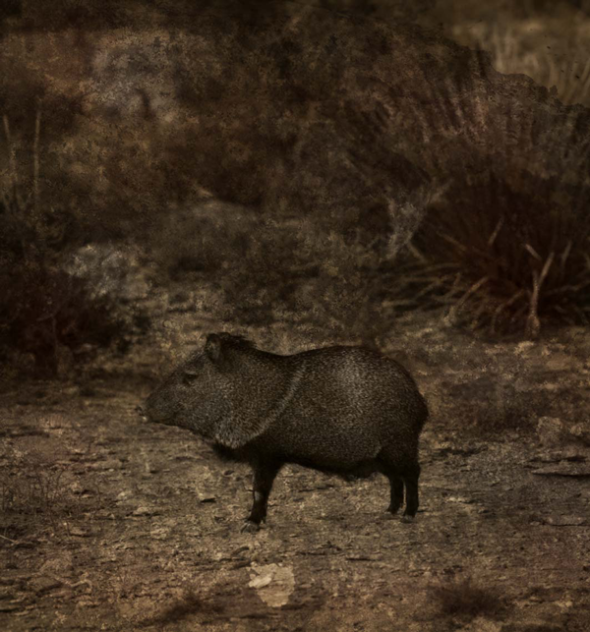 A Javelina at Night